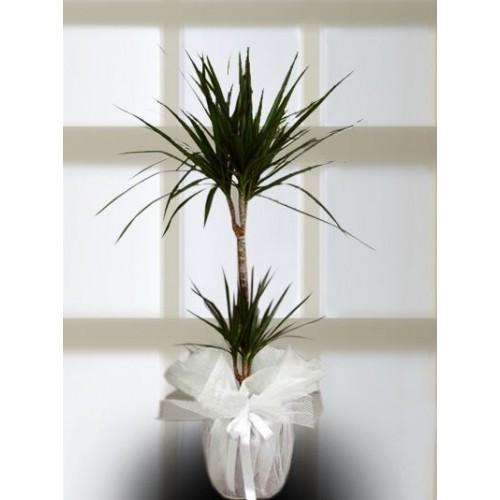 2'li Drecana Marginata.Saksı Çiçeği