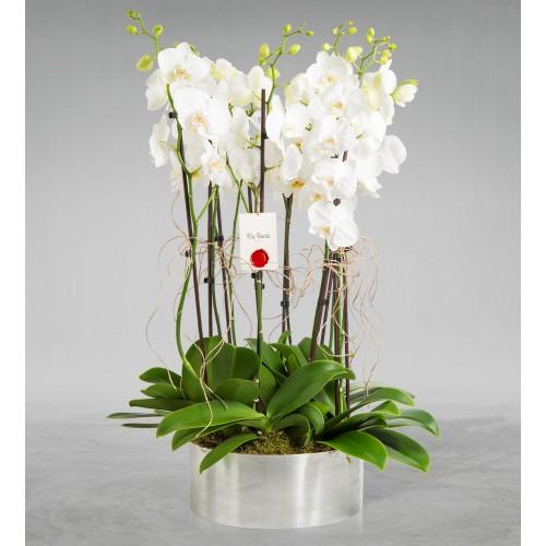 Mercedario 10 Dal Beyaz Orkide