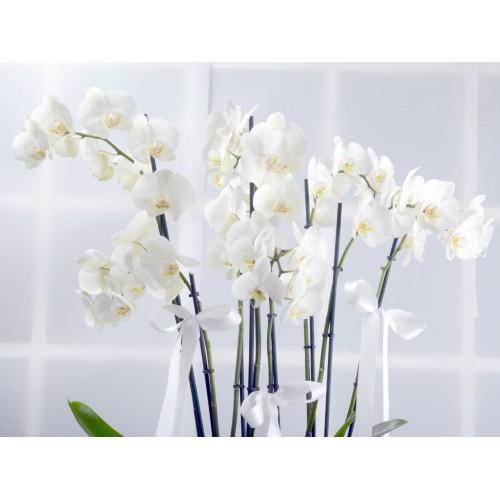 Naifliğin Simgesi Beyaz Orkideler