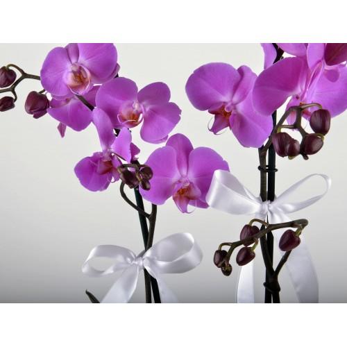 Beyaz Hediyelik Kutuda Orkide Bahçesi